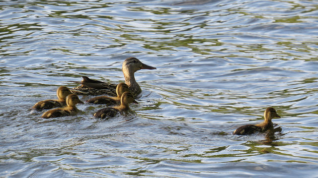 duck ducklings animals