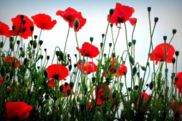 poppies flowers field nature